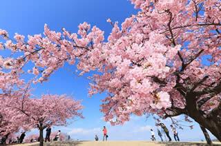 河津桜写真