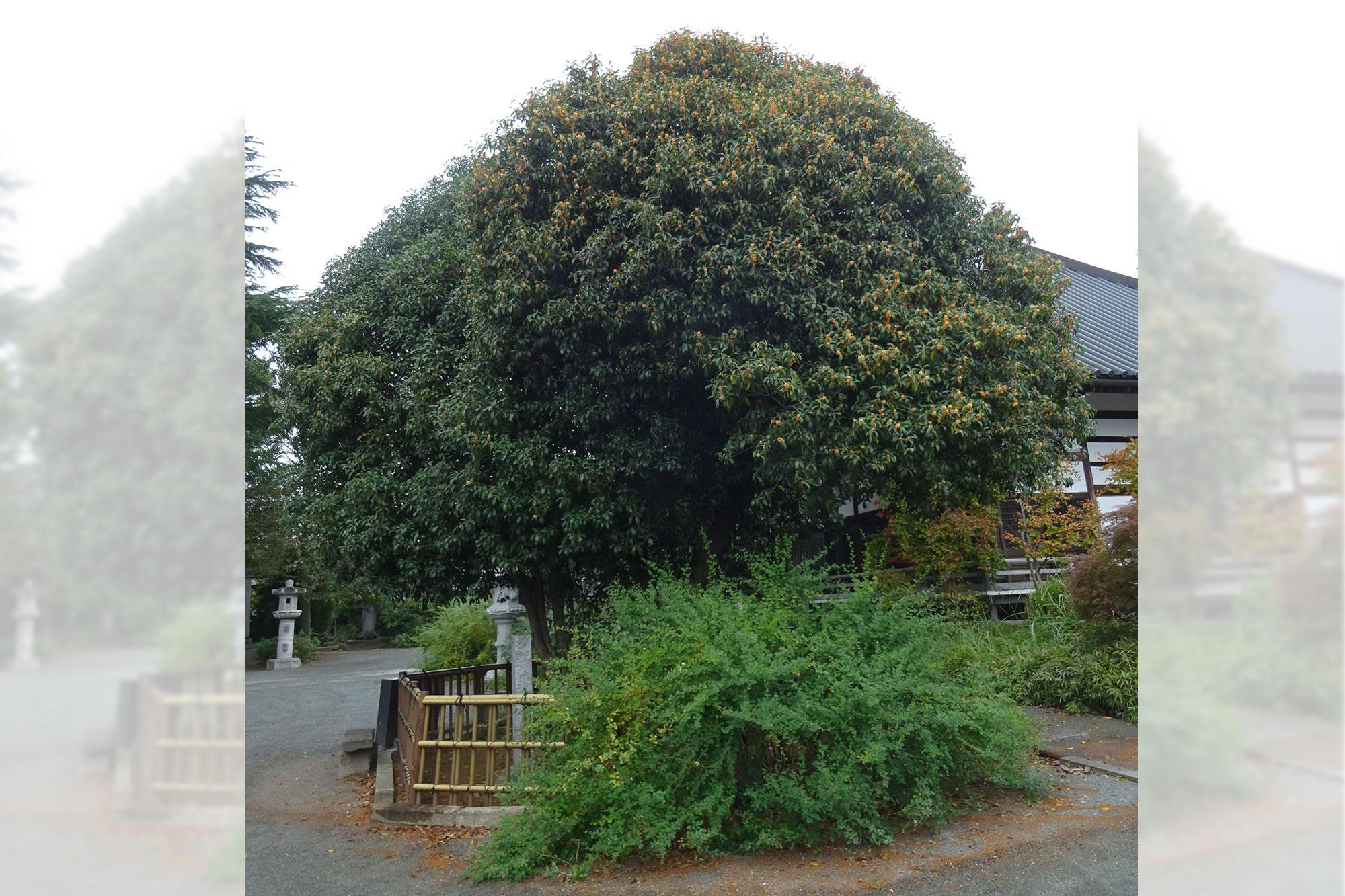 華蔵寺のキンモクセイの写真