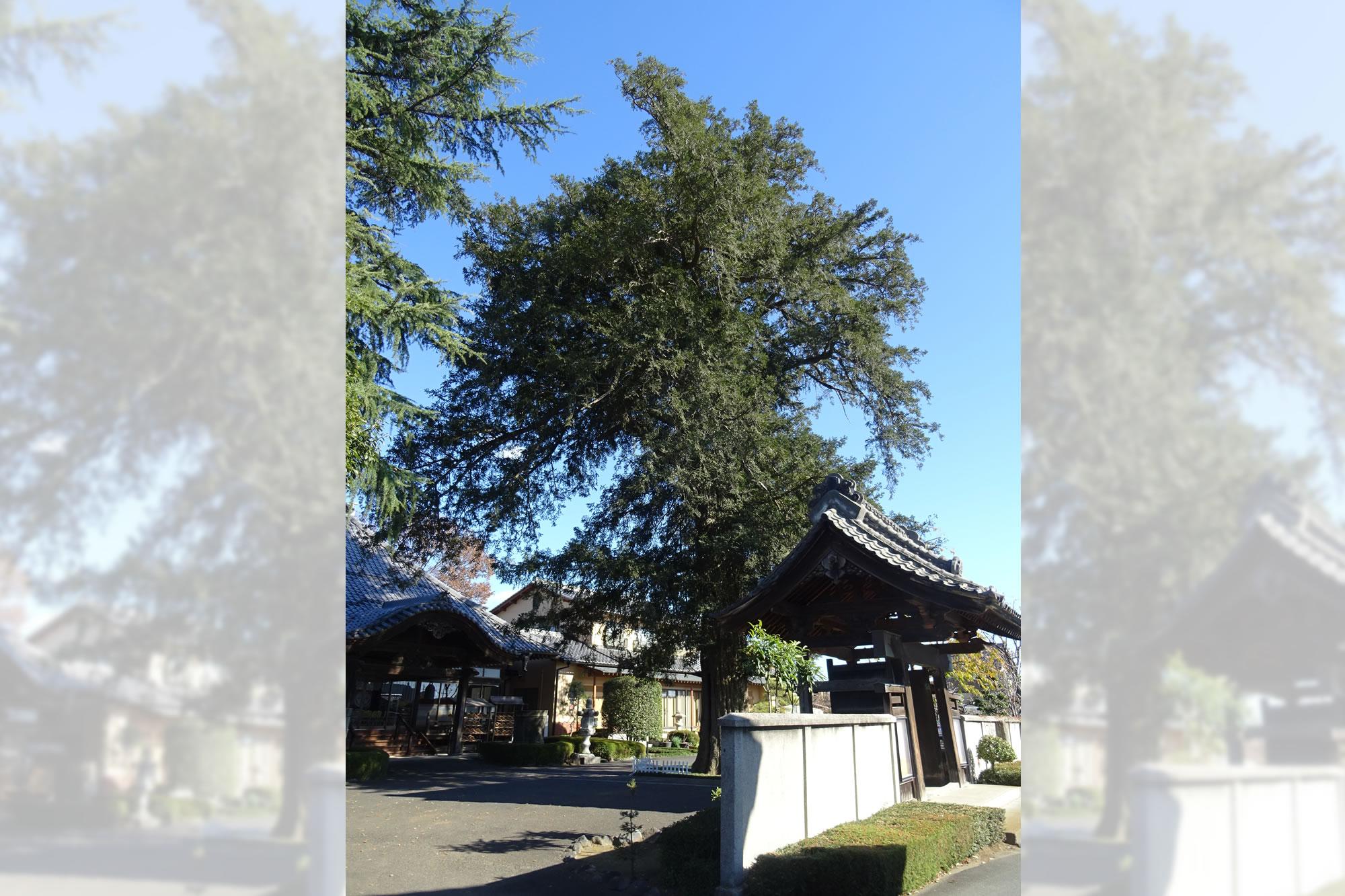 西福寺の大カヤの写真